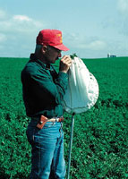 crop consultant scouts for pests