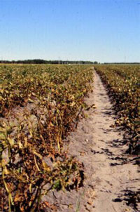 A whole field infected by late blight