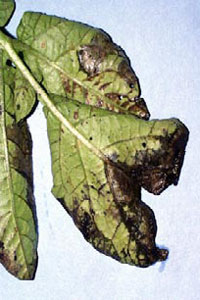 Leaves infected by late blight