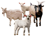 sheep_goats