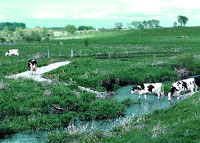 cows crossing controlled stream