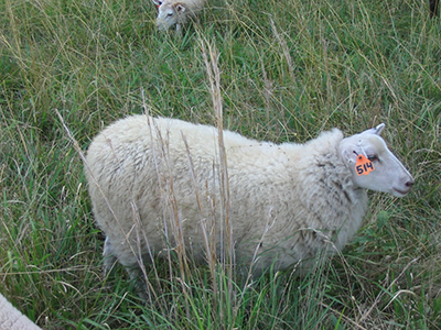 Sheep breeds such as Gulf Coast Native show resistance to parasites.