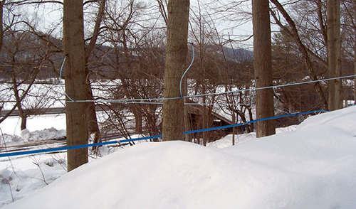 tapped maple trees with a tube collection system