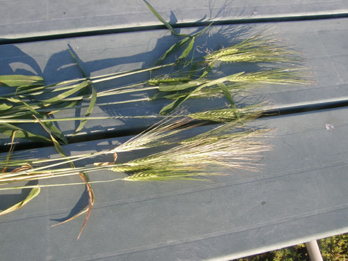 close up picture of barley from north and south fields for comparison