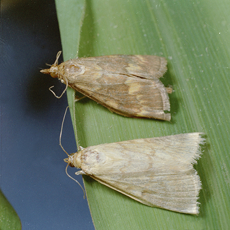 European corn rootworm adult