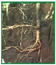 Compacted soils do not allow for normal root growth.