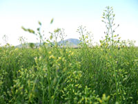 Camelina growing in a Montana field.