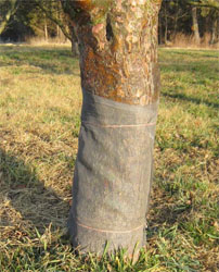 tree trunk in protecting wrap