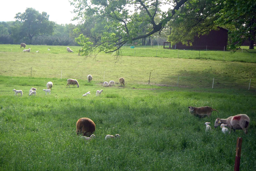 ewes with lambs