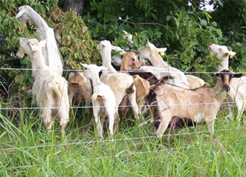 goats grazing in fresh brush