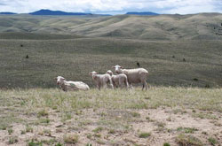 Sheep on native range, sw Montana.