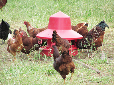 chickens at a feeder