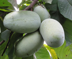 pawpaws on a branch