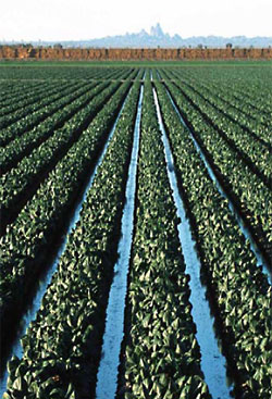 Rows of lettuce beds