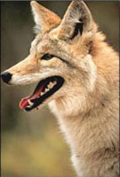 Coyote - www.clipart.com