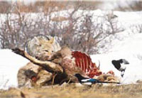 Coyote eating off a game kill - www.clipart.com