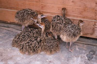 Rhea chicks - www.clipart.com
