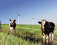 Cows and wing turbines.