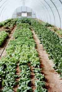 Full production in early March at Au Naturel Farm, lettuces and spinach.