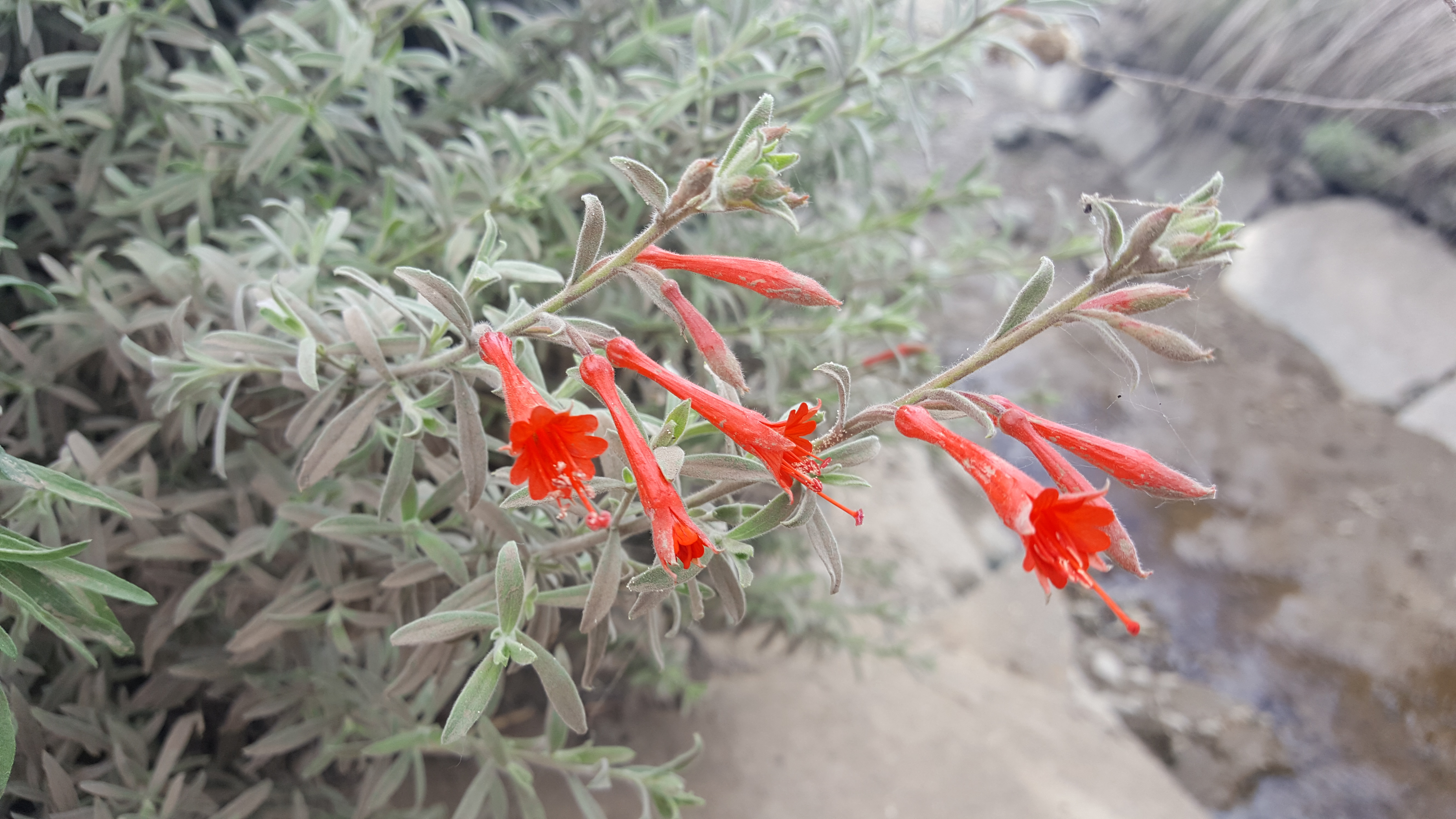 California Fuchsias