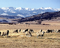 Sheep grazing on rangeland