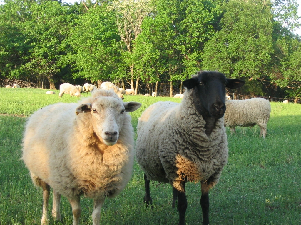 gulf coast and suffolk sheep