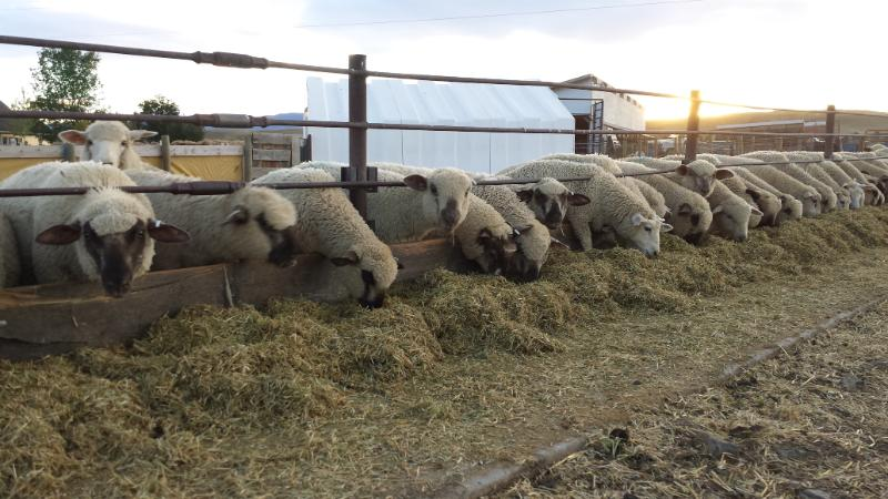 Sheep being fed hay