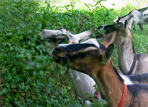 goats eating bushes