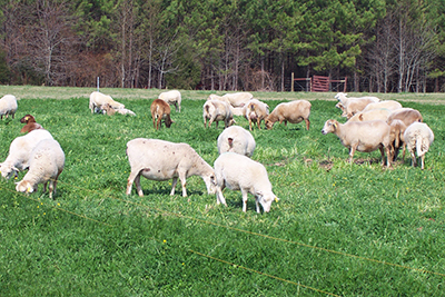 rotational grazing sheep
