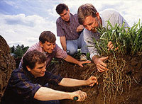 At the USDA Natural Resources Conservation Service's Big Flats (New York) Plant Materials Center, scientists are excavating eastern gamagrass roots for study.