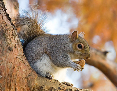 Eastern Grey Squirrel sitting in tree