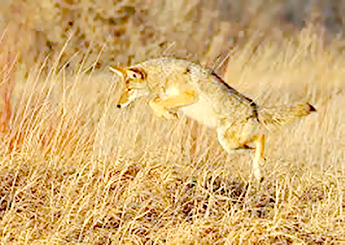 leaping coyote