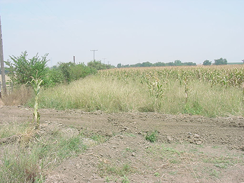 cornfield damaged by ground squirrels three months later
