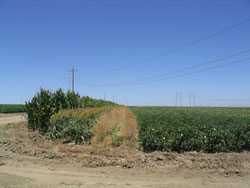 Corn, sorghum and mustard provide habitat for beneficials.