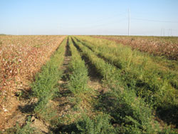 Alfalfa planted as beneficial insect habitat.