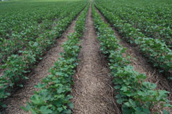 no-till cotton field.