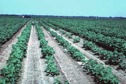 Crop damaged by Rotylenchulus reniformis.