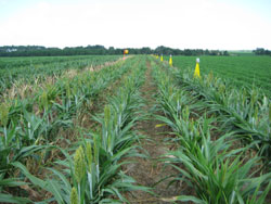Sorghum trap crop