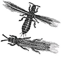 Thrips ~ www.clipart.com