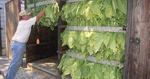Preparing tobacco to dry in a drying barn --> Photo courtesy of USDA.