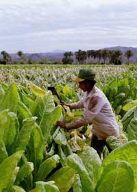 Tobacco field --> courtesy of clipart.com