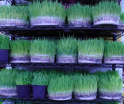 wheatgrass varieties