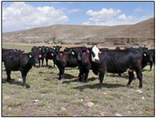 Beef cattle on the McAlpine Ranch.