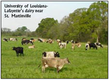 University of Louisiana-Lafayette's dairy near St. Martinville.