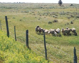 Managing Weeds with Sheep