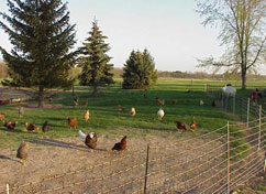 Pastured chickens are confined by an electric fence on the                         Michigan farm of Jack Knorek.