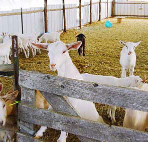 Photo of dairy goats in pens.