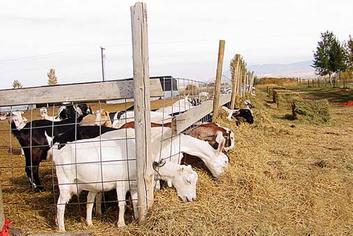 Photo of dairy goats eating straw.