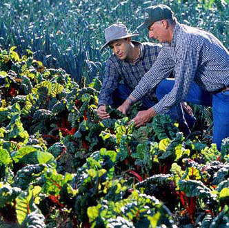 Horticulturist Eric Brennan and Phil Foster examine red chard at Phil Foster Ranches in Hollister, Calif