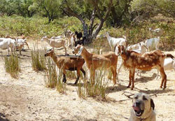 The Chaffins' goats help rehabilitate a neighbor's olive orchard.